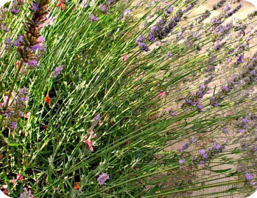 Un pezzetto di provenza in giardino