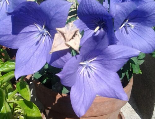 Fiore di zaffiro